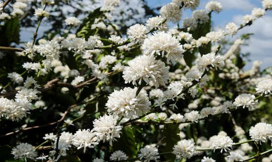 Đẹp nao lòng mùa hoa cà phê nở rộ
