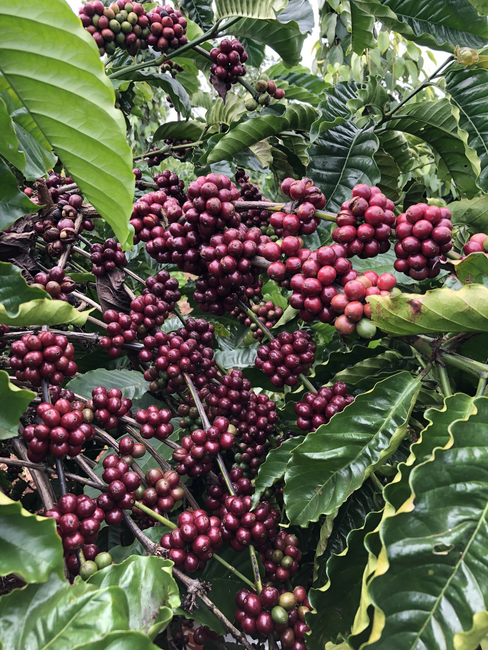 Cà phê nhân sống giá rẻ tại Mơak Farm